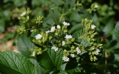 Stevia, A Natural Sweetener?