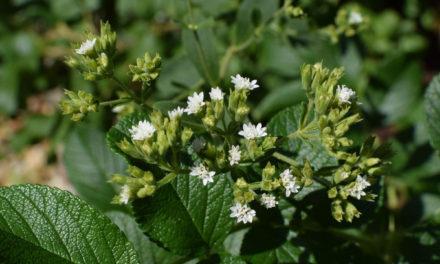 Stevia, A Natural Sweetener?